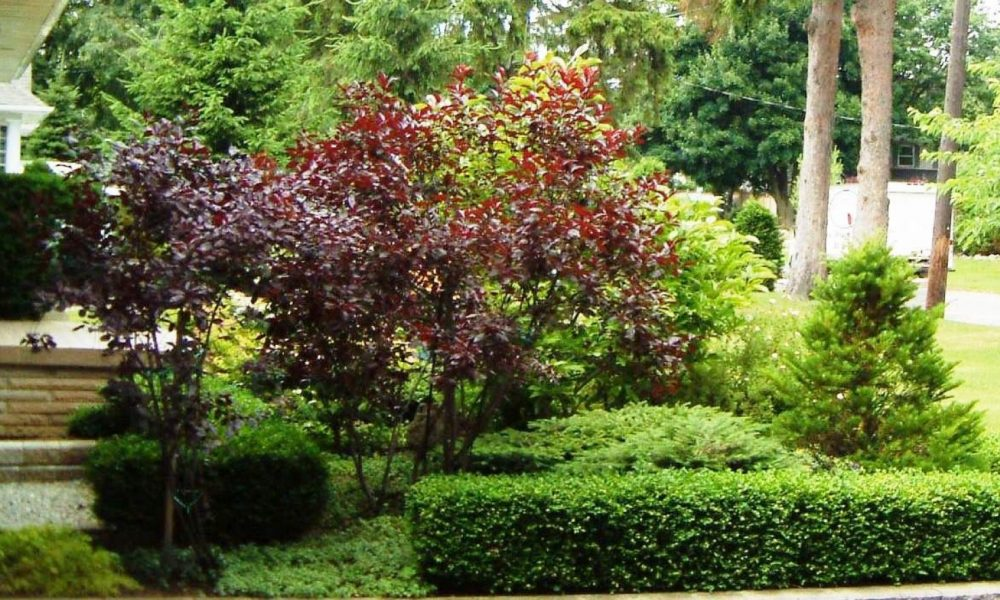 boxwood and Japanese maple