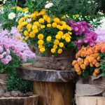Fall Splendour- Green Thumb Landscaping- gorgeous fall mums