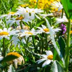 Landscape Maintenance To-Dos & Checklist- beautiful daisies