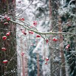 Winter berries on a tree branch with snow