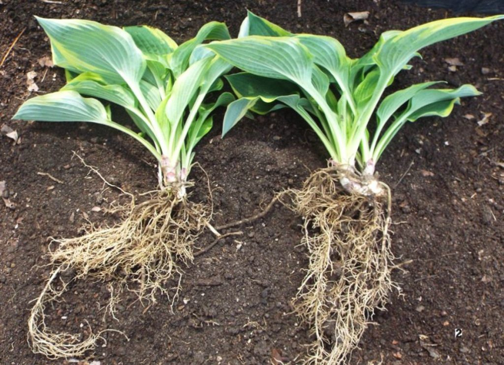 hostas roots split for transplanting