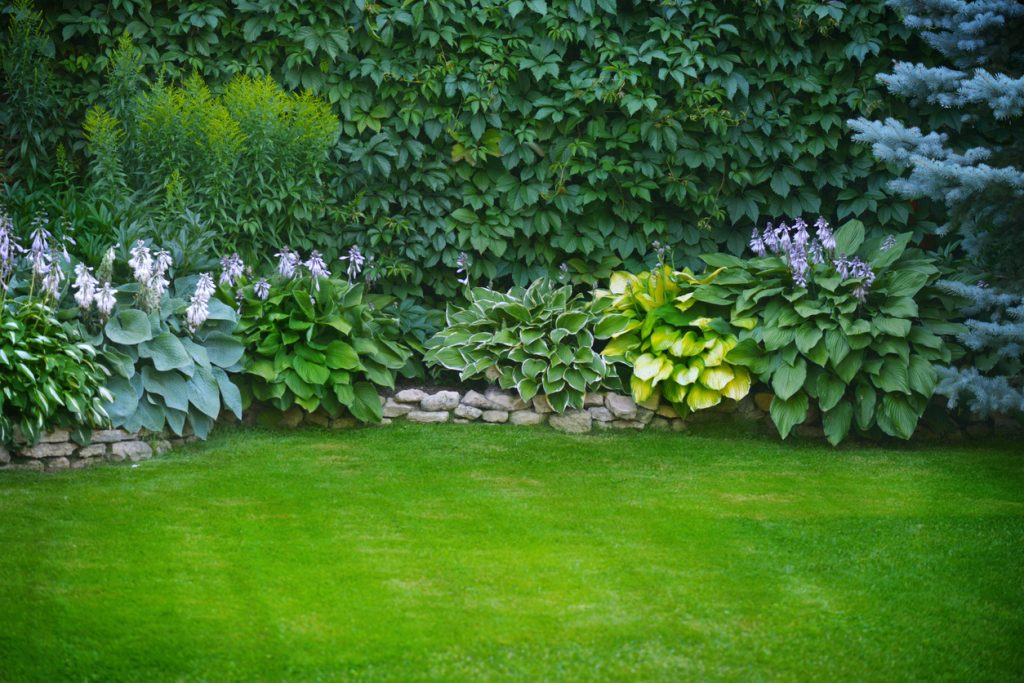 hostas in garden bed