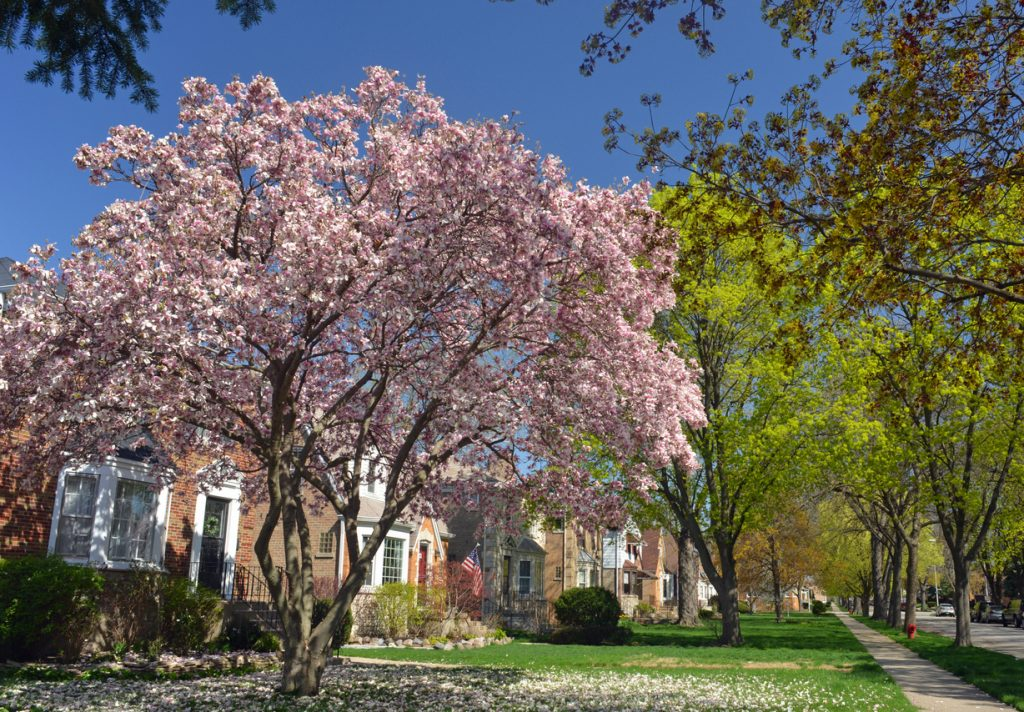 magnolia tree on a residential street