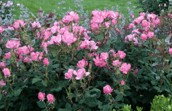 pink rose bushes